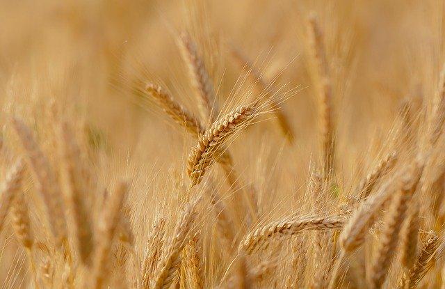 Gambar: Wheat