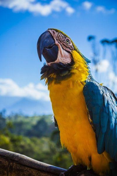 Gambar: Burung beo