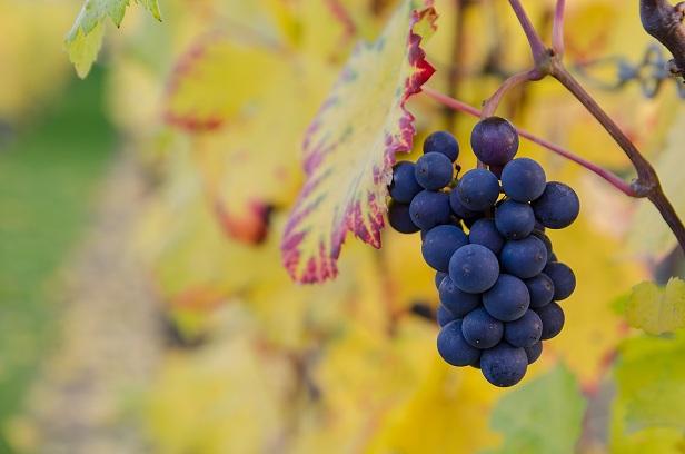 Gambar: Buah Anggur