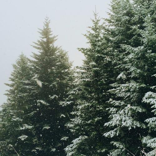 Gambar: pohon cemara