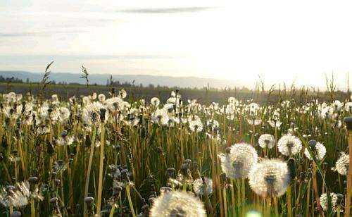 Gambar: Bunga Dandelion