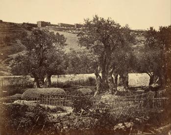 Gambar: Pohon Zaitun di Taman Getsemani